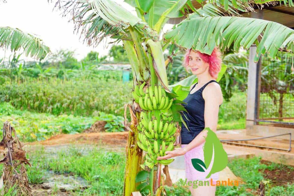 Banana Tree Growing in Jaffna, North Sri Lanka