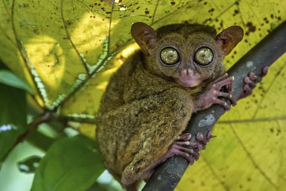 A small nocturnal animal, the Tarsier, with fixed round eyes on a tree branch.