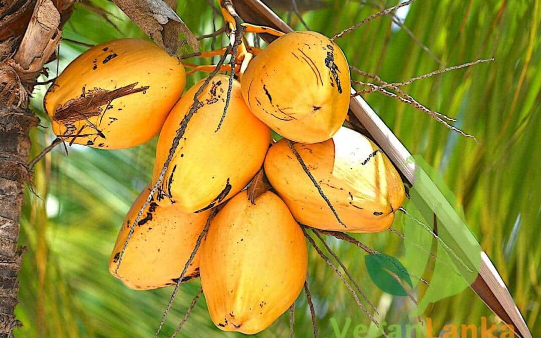 King Coconut – Amazing Fruits To Try In Sri Lanka