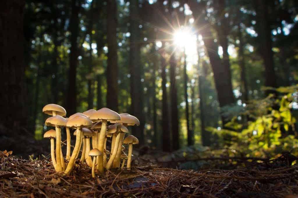 Mushrooms rich in Vitamin D