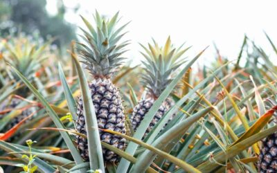 Top 5 Benefits Of Eating Pineapple