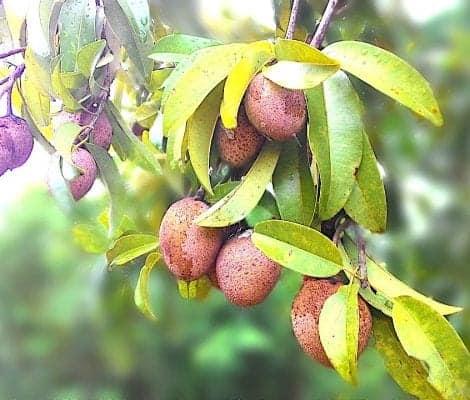 Sapodilla – Fruits You Must Try in Sri Lanka